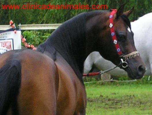 Xiii morfol gico de mio o 2007 cantabria arabes co for Cabezadas para caballos